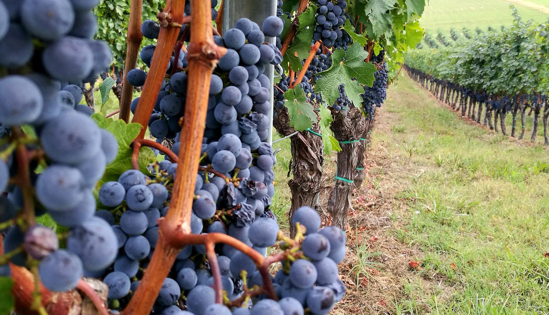Cabernet Sauvignon - Vigneto Ponzano
