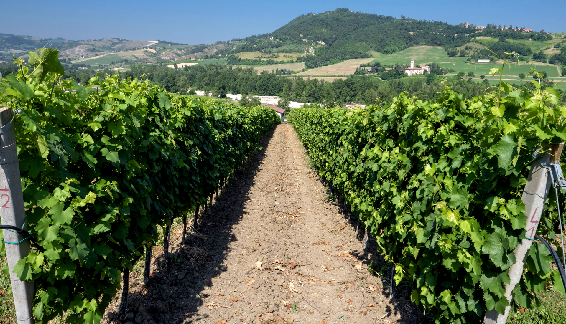 Vigneto Isola - Grechetto gentile utilizzato per Colli Bolognesi Pignoletto docg Frizzante