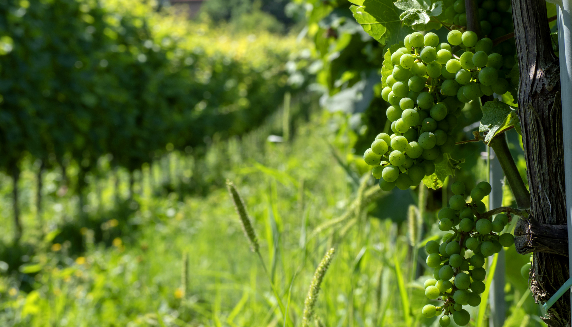 Grappolo di Riesling_Vigna Le Vaie